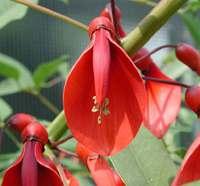 flor de ceibo, flor nacional de argentina